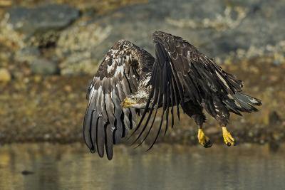 Bald Eagle (Haliaeetus Leucocephalus) In Flight, Acadia National Park, Maine, USA. June