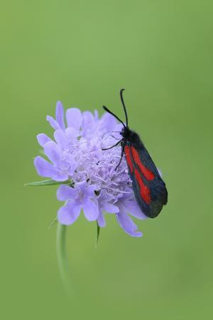 Moth (Zygaena Osterodensis) Feeding On Flower, Viscos, Pyrenees National Park, France, July