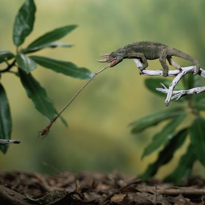 Jacksons 3-Horned Chameleon (Chamaeleo Jacksonii) Catching Cricket With Tongue. Captive