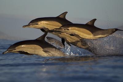 Common Dolphin (Delphinus Delphis), False Bay, Cape Town, South Africa, August
