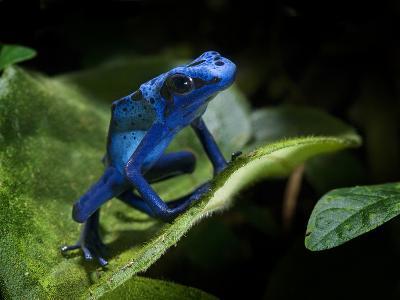 Cobalt Blue Poison Dart Frog (Dendrobates Azureus) Captive, Surinam, South America
