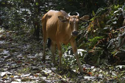 Banteng (Bos Javanicus Birmanicus) Taman Negara , Malaysia