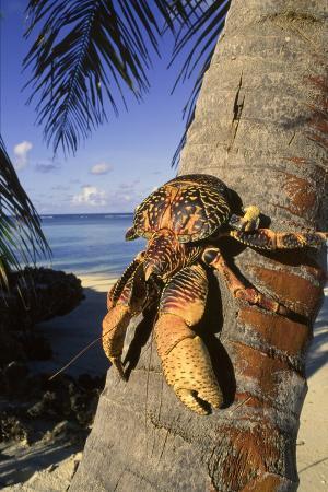 Coconut - Robber Crab (Birgus Latros) Climbing Coconut Tree, Aldabra Seychelles