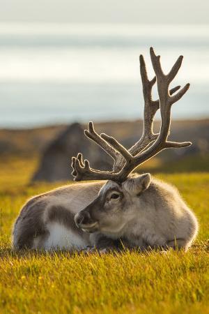 Svalbard Reindeer (Rangifer Tarandus Platyrhynchus) In Velvet, Resting, Svalbard, Norway, August