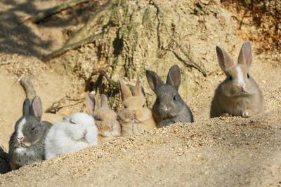 Feral Domestic Rabbit (Oryctolagus Cuniculus) Babies Resting Near Burrow