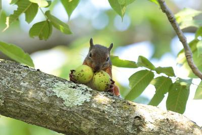 Japanese Squirrel (Sciurus Lis) Carrying Two Walnut (Juglans Ailantifolia)