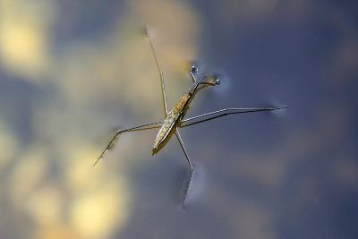 Common Pond Skater - Water Strider (Gerris Lacustris) On Water. New Forest, UK, July