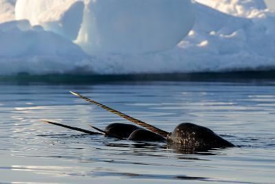Narwhal (Monodon Monoceros) Showing Tusks Above Water Surface. Baffin Island, Nunavut, Canada