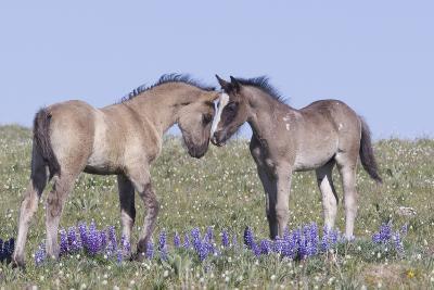 Wild Mustang Foals Among Wild Flowers, Pryor Mountains, Montana, USA