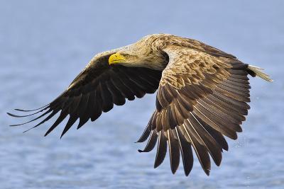White-Tailed Sea Eagle (Haliaeetus Albicilla) In Flight. Flatanger, Norway, May