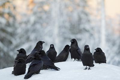 Common Raven (Corvus Corax) Group On Snow In Forest Clearing, Utajärvi, Finland