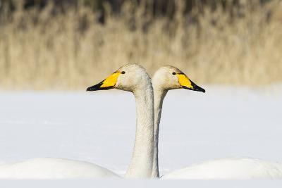 Whooper Swan (Cygnus Cygnus) Male And Female Facing In Opposite Directions, Central Finland, April
