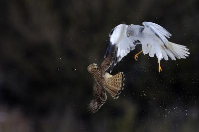 Northern - Hen Harrier (Circus Cyaneus) And Kestrel (Falco Tinnunculus) Below, Fighting In Flight