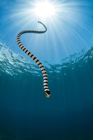 Yellow Lipped Sea Snake (Laticauda Colubrina) Dives Back Down To The Reef After Surfacing For Air