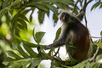 Zanzibar Red Colobus Monkey (Procolobus Kirkii) Portrait In A Tree