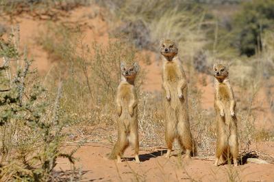 Yellow Mongooses (Cynictis Penicillata) Standing Alert, Kgalagadi National Park, South Africa