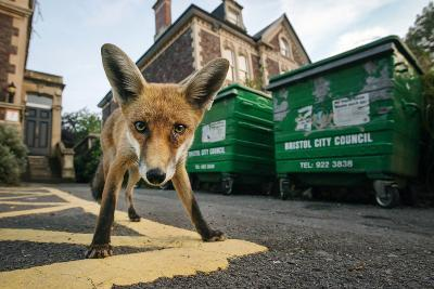 Young Urban Red Fox (Vulpes Vulpes) Standing In Front Of Bristol City Council Dustbins