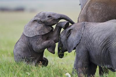 Young African Elephants (Loxodonta Africana) Playing And Sparing, Masai Mara, Kenya, Africa