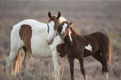 Wild Mustang Pinto Foal Nuzzling Up To Mother, Sand Wash Basin Herd Area, Colorado, USA