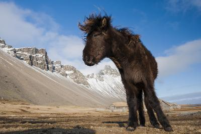 Young Icelandic Horse Near Stokkness, Iceland, March