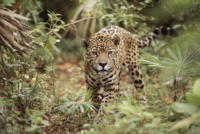 Jaguar, Belize. Captive Animal
