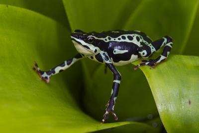 Harlequin Frog, Ecuador