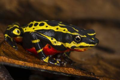 Lemon Harlequin Frog, Ecuador