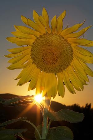 California. Hybrid Sunflower