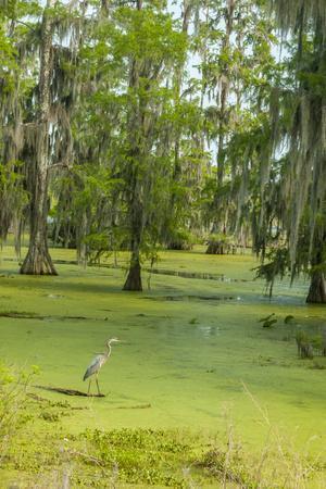 Louisiana, Atchafalaya Basin, Lake Martin. Great Blue Heron in Lake Swamp