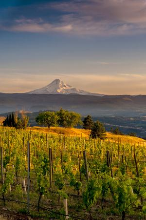 Washington State, Lyle. Mt. Hood Seen from a Vineyard Along the Columbia River Gorge