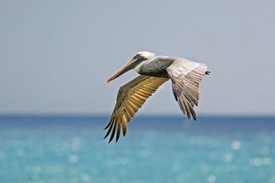 Mexico, Caribbean. Male Brown Pelican Flying over the Sea