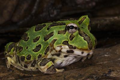Pacific Horned Frog, South America Range, Ecuador