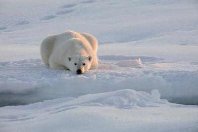 Norway, Svalbard, Spitsbergen. Polar Bear Rests on Sea Ice at Sunrise