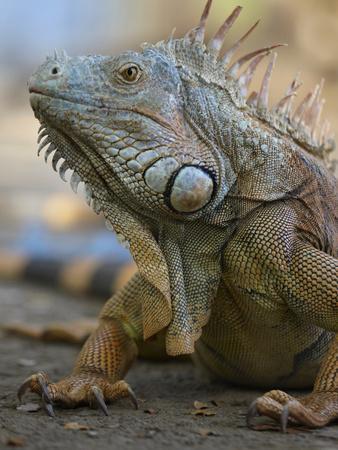 Headshot of a Green Iguana, Costa Rica, Summer