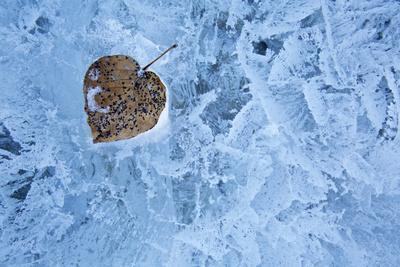 Canada, Alberta, Abraham Lake. Close-Up of Leaf Frozen into Ice