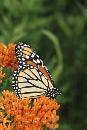 Monarch on Butterfly Milkweed, Marion County, Illinois