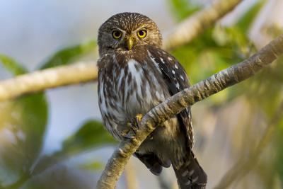 Brazil, Mato Grosso, the Pantanal, Ferruginous Pygmy Owl in a Tree