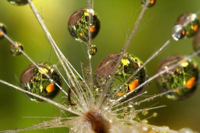 California. Dandelion and Water Droplets