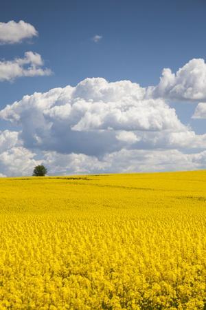 Denmark, Jutland, Odum, Rapeseed Field, Springtime