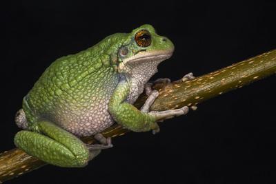 San Lucas Marsupial Frog, Ecuador