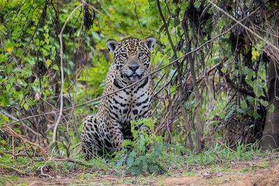 Brazil, Mato Grosso, the Pantanal, Rio Cuiaba. Jaguar Along the Bank of the Cuiaba River