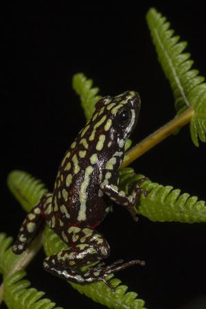 Phantasmal Poison Arrow Frog, Ecuador