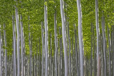 Oregon, Boardman. Pattern of Hybrid Poplar Trees