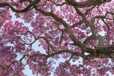 Brazil, Mato Grosso, the Pantanal. Trunks and Blossoms Inside the Pink Ipe Tree in Bloom