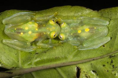 Glass Frogs, Ecuador