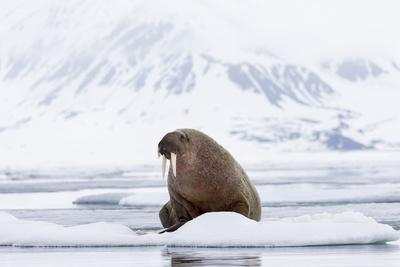 Arctic, Norway, Svalbard, Spitsbergen, Pack Ice, Walrus Walrus on Ice Floes