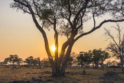 Botswana. Chobe National Park. Savuti. Sun Setting Beyond Rain Trees