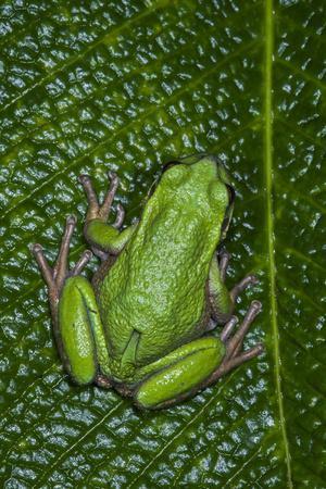 San Lucas Marsupial Frog, Andes, Ecuador