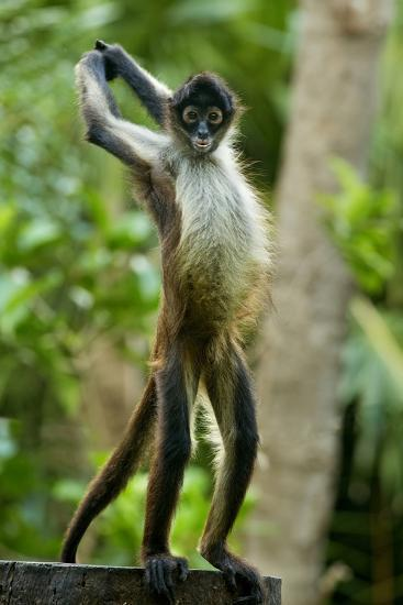 Mexico Yucatan Spider Monkey Adult Standing