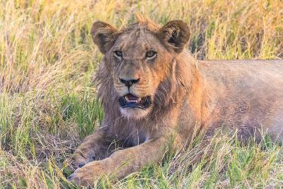 Botswana. Chobe National Park. Savuti. Young Male Lion Resting